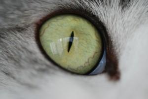 kattenoog cat-606711_1920